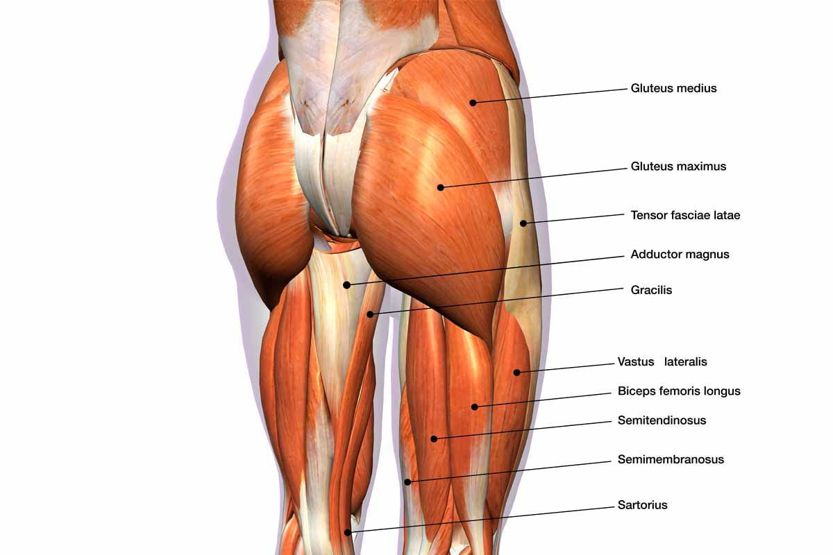 glutei anatomia - Got Glutes? 3 Myths of Glute Training Dispelled