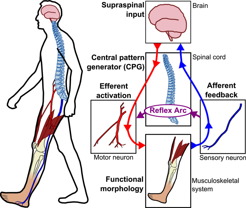 Nominal sensory motor control loop for human locomotion Motion intentions originate from - 3 Keys in Building Functional Muscle